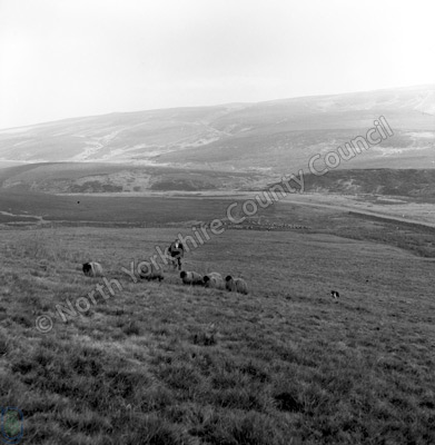 Shepherding, Ribblehead
